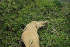 L'Africa un elefante che strappa giù Thorn Bush dolce Immagine Stock