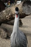 L'Africain est a couronné la grue, oiseau avec les cheveux en épi image stock