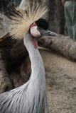 L'Africain est a couronné la grue, oiseau avec les cheveux en épi photos stock