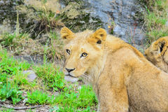 l'Africain met bas le lion Photo stock