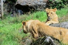 l'Africain met bas le lion Images libres de droits