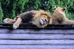 l'Africain met bas le lion Photos stock