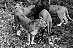 l'Africain met bas le lion Photos libres de droits