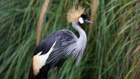 L'Africano unico ha incoronato la gru in un lago, alta foto della definizione di questo aviario meraviglioso nel Sudamerica Fotografia Stock Libera da Diritti