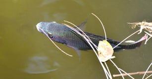 l'Afrique a cultivé la Zambie croissante d'eau douce de tilapia de poissons rapides Images libres de droits