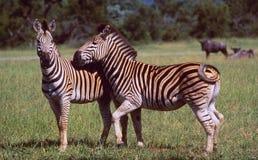 L'Afrique du Sud : Deux zèbres dans la région sauvage de la faune de Hluhluwe photos stock