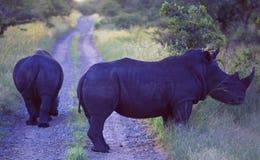 L'Afrique du Sud : Rhinocéros deux bloquant la route photo stock