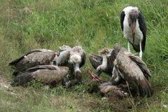 l'Afrique mangeant des vautours de la Tanzanie de serengeti Photos libres de droits