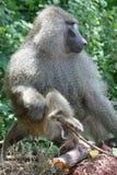 l'Afrique, Tanzanie, grand baboonn de verticale Images libres de droits