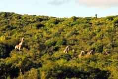 L'Afrique un troupeau de girafes fonctionnant par un bosquet images libres de droits