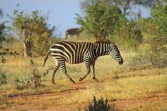 L'Afrique, zoologie Image libre de droits