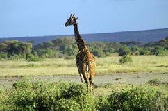 L'Afrique, zoologie, girafe Photos stock