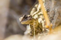 L'agame commun (agame d'agame) Photographie stock libre de droits