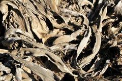 L'agave sec et mort laisse la texture sous le soleil photos stock