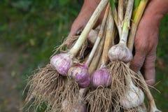 L'aglio organico si è riunito all'azienda agricola ecologica in mani dell'agricoltore Fotografie Stock Libere da Diritti