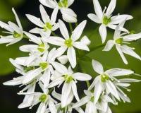 L'aglio selvaggio di fioritura, ursinum dell'allium, fiorisce il primo piano, il fuoco selettivo, DOF basso Immagini Stock Libere da Diritti
