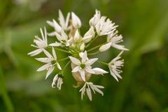 L'aglio selvaggio fiorisce (ursinum dell'allium) Fotografia Stock Libera da Diritti