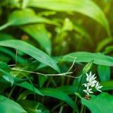 L'aglio selvaggio in foresta, aglio degli orsi lascia in foresta - l'allium u Fotografie Stock