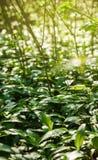 L'aglio selvaggio in foresta, aglio degli orsi lascia in foresta - l'allium u Fotografia Stock Libera da Diritti