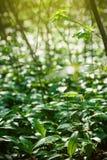 L'aglio selvaggio in foresta, aglio degli orsi lascia in foresta - l'allium u Immagine Stock