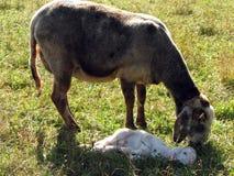 L'agneau avec des moutons frôlent dans le pré Images stock