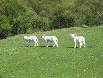L'agneau curieux Image stock