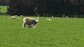 L'agneau de bébé alimente de sa mère banque de vidéos