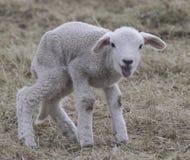 L'agneau heureux prend des premières étapes Images libres de droits
