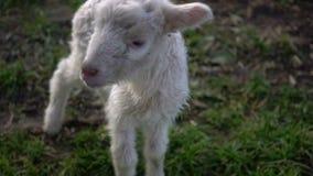 L'agneau malheureux marche sur l'herbe clips vidéos