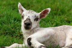 L'agnello Immagini Stock