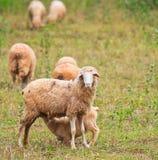L'agnello allatta da sua madre Fotografia Stock Libera da Diritti