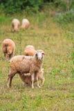 L'agnello allatta da sua madre Immagine Stock Libera da Diritti