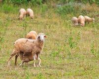 L'agnello allatta da sua madre Fotografie Stock Libere da Diritti