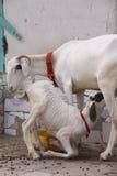 L'agnello beve il latte della madre Fotografia Stock Libera da Diritti