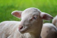 L'agnello bianco si trova nell'erba Fotografia Stock