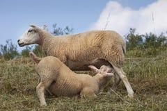 L'agnello che beve da esso è madre Immagini Stock
