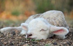 L'agnello della sorgente appena nato più sveglio mai! Immagine Stock