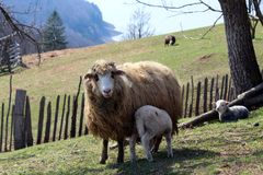 L'agnello succhia le pecore immagini stock