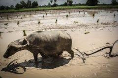 L'agricoltore è bufalo di uso che ara il giacimento del riso Immagine Stock