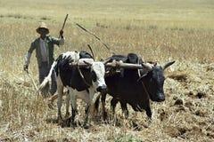 L'agricoltore è con l'aratro ed i buoi che arano il campo Fotografie Stock