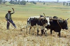 L'agricoltore è con l'aratro ed i buoi che arano il campo Immagini Stock