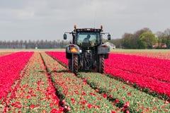 L'agricoltore al trattore sta tagliando le teste dei fiori del tulipano Immagini Stock Libere da Diritti