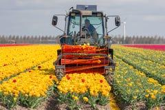 L'agricoltore al trattore sta tagliando le teste dei fiori del tulipano Fotografia Stock Libera da Diritti