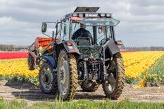 L'agricoltore al trattore sta tagliando le teste dei fiori del tulipano Immagine Stock