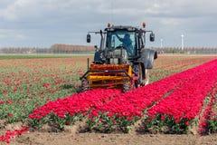 L'agricoltore al trattore sta tagliando le teste dei fiori del tulipano Fotografia Stock