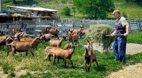 L'agricoltore alimenta le capre Fotografia Stock Libera da Diritti