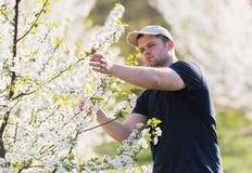 L'agricoltore analizza il frutteto di ciliegia del fiore con gli alberi sboccianti nella s Fotografie Stock Libere da Diritti