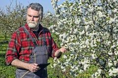 L'agricoltore analizza la ciliegia del fiore Immagini Stock