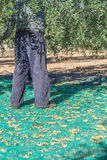 L'agricoltore anziano sta facendo il raccolto Immagine Stock Libera da Diritti