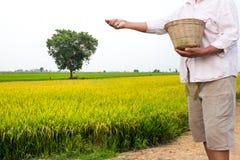 L'agricoltore applica il fertilizzante chimico nel giacimento del riso Fotografia Stock
